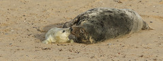 Nose to nose. (Sandra Standbridge.) Tags: greyseal mammal animal outdoor horsey wildandfree nature wildlife seaside beach coast sand newborn tendermoment mum baby mumandbaby