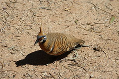 Spinifex Pigeon (Runabout63) Tags: spinifex pigeon northern territory