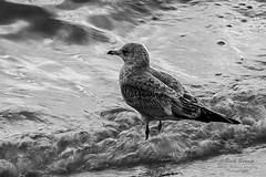 Knee Deep (White Balance Imaging Photography) Tags: beachocean birds fauna nature norfolk oceanview places seaguls seasons sunset virginia weather willoughbyspit winter