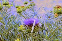 Flora Abstract! (maginoz1) Tags: flower flora thistle abstract art manipulate bulla melbourne victoria australia summer december 2016 canon g3x