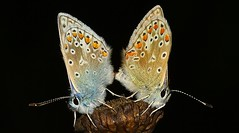 Common Blue - Polyommatus icarus (Mating) 170815 (4) (Richard Collier - Wildlife and Travel Photography) Tags: macro wildlife ngc butterflies insects bugs naturalhistory npc british commonblue onblack polyommatusicarus
