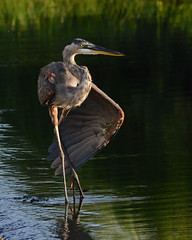 Great Blue Heron - Morning Routine (stephaniepluscht) Tags: park blue fish heron flickr gulf state great alabama explore weir 2015