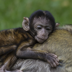 Baby Barbary Mcaque (Charliebubbles) Tags: canon eos monkey ape staffordshire trentham magot monkeyforest barbarymacaque macacasylvanus oldworldmonkey 260815 60d canoneos60d