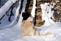 James Golden Retriever (photeka) Tags: wood winter dog forest goldenretriever hund holz wald coldness klte woolyhat wollmtze