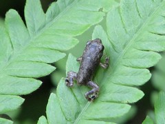 Tiny Toad Tot (dog.happy.art) Tags: animal amphibian toad tiny tadpole