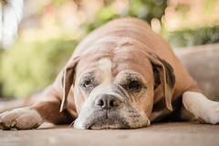 Bokeh (Vinicius_Ldna) Tags: brazil dog pet love canon 50mm dof bokeh boxer pr nina care caress londrina 0151 10151