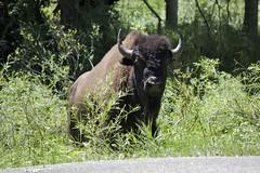 Bison, Black Hills National Forest, South Dakota (annelaurem) Tags: tree green southdakota bison blackhillsnationalforrest