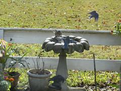 Hello, Commune! I am back. (Room With A View) Tags: birds bath birdbath maryland bathing tamsgarden