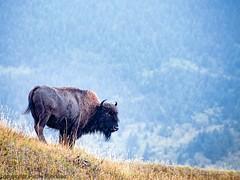 1387 Iconic Buffalo (paule48) Tags: blue canada reflection animal female mammal buffalo alberta bison watertonnationalpark watertonnp