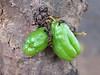Früchte von Averrhoa bilimbi , NGIDn614016429 (naturgucker.de) Tags: averrhoabilimbi naturguckerde wilpattunationalpark ngidn614016429 cgabyschulemannmaierfoodpflanzeaverrhoabilimbi