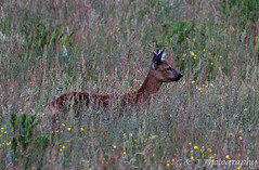 Camouflage ..Roe Deer (g_and_t_photography) Tags: deer explore devon mammals dartmoor roedeer britishwildlife naturewildlife uknature explorenature britishnature