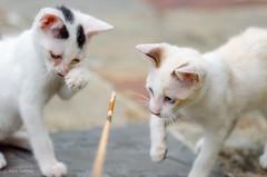 Kittens Playing with a Stick (d-harding) Tags: animals cat nikon kitten malaysia borneo kotakinabalu putatan d5100 nikond5100 sigma105mmf28macroexdgoshsm