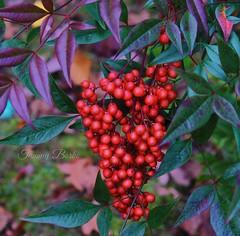 Berry Beautiful (Tammy Borko Photography) Tags: red plant macro fall nature photography bush berries autumncolors shrub nandina redberries nandinadomestica borko tammyborkophotography
