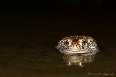 Epidalea calamita (Fernando_Iglesias) Tags: toad sapo amphibians corredor anfibios natterjack anuros