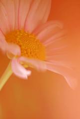 Hazy flower (Wilamoyo) Tags: pink light blur flower macro nature canon petals stem stamen botany yellowy
