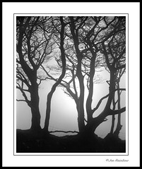 Beeches, Dartmoor (Joe Rainbow) Tags: bw tree film nature silhouette landscape mono devon mamiyarz67proii