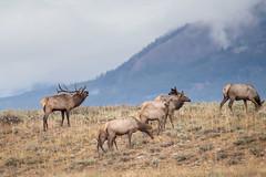 Bugling Bull Elk (jeffloomis1) Tags: mountains bull elk herd bulging rut grandtetonnationalpark