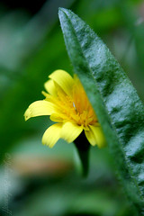 Tímida (Johan Andrianoff) Tags: flower macro yellow flor amarillo shame timida