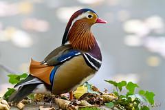 101102_151807.jpg (marc1bert) Tags: oiseaux faune canardmandarin oiseauxdeau