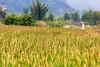 Yulong River rice fields (Bridgetony) Tags: china asia southeastasia rice guilin yangshuo karst guanxi asiapacific