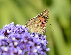 South-Africa Butterfly Vanessa cardui (fr@nspelsmaekers) Tags: vanessa lady butterfly southafrica la painted belle dame distelvlinder cardui distelfalter