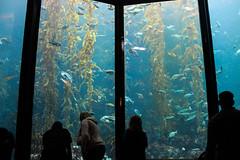 kelp forest great window (j j miller) Tags: california window water silhouette aquarium coast monterey education tank montereybayaquarium montereybay science kelp learning hwy1 sustainability californiacoast kelpforest giantkelptank