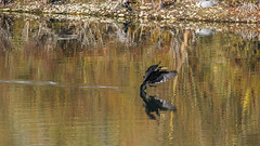 Grand Cormoran (Phalacrocorax carbo) (yann.dimauro) Tags: france fr rhnealpes vaulxenvelin