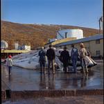 PEM-STO-00309 Finnhval på Tromsøysund hvalstasjon i 1971 thumbnail