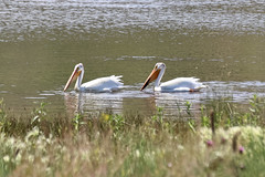 American White Pelicans (psychostretch) Tags: americanwhitepelican animal bird pelecanuserythrorhynchos pelican pineridgenaturalarea
