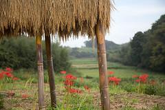 Red Spider Lily (mensore) Tags:    lycorisradiata redspiderlily  amaryllidaceae landsape autumn