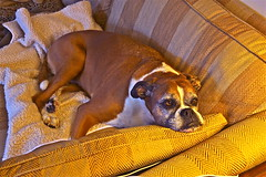 Flat Out! (Deepgreen2009) Tags: dog trixy pet sofa home boxer resting flat watching comfortable