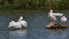 American White Pelicans_MG_0013 (918monty) Tags: pelicans dallas texas whiterocklakedallastexas wildlife waterfowl largebirds northamericanbirds pelecanuserythrorhychos migratorybird soaringbirds white feathers whitefeathers