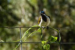blue eyed bird-1-3 (leoniefollett) Tags: birds dam ducks flowers practice