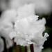 Frilly white cyclamen