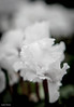 Frilly white cyclamen (judy dean) Tags: e frill