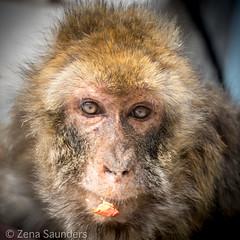 Gibraltar Monkey (Barbary Macaque) 2 (Zena Saunders) Tags: 2016 cruise november2016 october2016 gibraltarmonkey barbarymacaque gibraltar