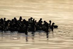 Coots at Sunrise (Noah Frade) Tags: bird birdphotography birding florida evergladesnationalpark americancoot fulicaamericana canoneos7dmarkii canonef400mmf56lusm nature wildlife raft