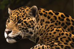 Jaguar 17 (cypher40k Photography) Tags: bigcat color colour jaguar nikon toronto torontozoo zoo