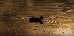 On Golden Pond (Heavy Metal Panda) Tags: staffordshire coot
