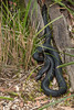 Red-bellied black snake (Pseudechis porphyriacus) (tik_tok) Tags: redbelliedblacksnake pseudechisporphyriacus snake reptile australia australianreptilepark nsw