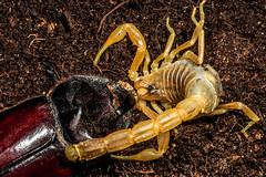 Escorpin comn, amarillo o alacrn atacando (_Guille_) Tags: roja rhinoceros beetle scorpion escorpin alacrn escarabajo rinoceronte ataque atacando attack attacking attacked