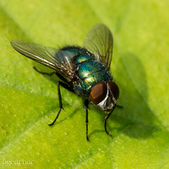 Bluebottle fly (Breatnac Photography) Tags: breatnac fly macro nature photograph photography