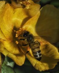 Bee_SAF3382-2 (sara97) Tags: bee flyinginsect insect missouri nature outdoors photobysaraannefinke pollinator saintlouis towergrovepark urbanpark wildlife copyright2016saraannefinke