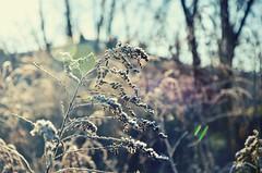 Colourfull light (anna.night) Tags: nature natura winter zima poland polska nikon d7000 flower plants plant blue meadow ka frozen frost cold colors color colours photo photography photos pink green light