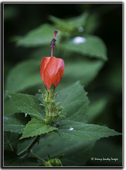 Malvaviscus arboreus (jdl1963) Tags: flower plant nature vegetation botanical turkcap turks turban wax mallow ladies teardrop scotchmans purse