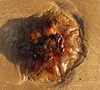 Lion's mane jellyfish (Cyanea capillata) juvenile under side (shadowshador) Tags: lions mane jellyfish cyanea capillata juvenile neomura eukaryota opisthokonta holozoa filozoa animalia eumetazoa radiata cnidaria scyphozoa discomedusae semaeostomeae cyaneidae invertebrate invertebrates taxonomy scientific classification biology sea beach sand sandy wet red wales conwy north