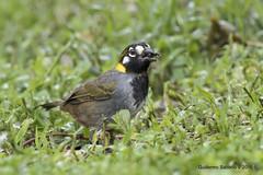 White-eared Ground-Sparrow (Melozone leucotis) (Gmo_CR) Tags: melozoneleucotis whiteearedgroundsparrow pinzónorejiblanco cuatroojos payasito costarica coronado patiodeagua