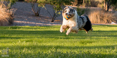 Fire up those hover engines (Jasper's Human) Tags: australianshepherd aussie chuckit hover run chase ball fly dog