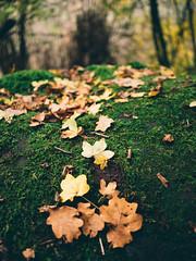 foliage_resting_on_moss (Joerg Esper) Tags: plaidt rheinlandpfalz deutschland de leafs leaf foliage laub blätter blatt herbst autumn fall moos moss bokeh olympus olympusomdem1 olympusmzuikodigital17mm118