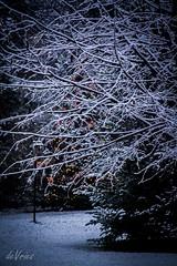 Light conquers darkess . . . (Dr. Farnsworth) Tags: lights christmas tree snowfall measureable pine westlake mi michigan fall december2016